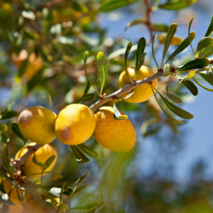 Argan tree allbeauty history of MOROCCANOIL